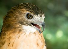 Red-tail Hawk. A close-up head shot of a red-tail hawk Stock Image