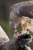Red Tail Hawk. Eating a snack as a reward during training Royalty Free Stock Photo