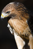 Red Tail Hawk. A typical buteo, soaring hawks with broad wings and tail. Plumages are highly variable, 4 light-morphs and 3 dark-morph forms are distinguishable Stock Photo