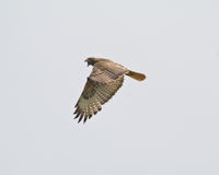 Red tail Hawk. A red tail hawk flying as it lets out a call Royalty Free Stock Photos
