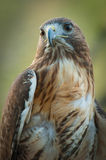Red Tail Hawk. With its head turned to the left Stock Photos