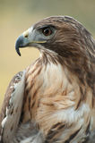 Red Tail Hawk. With an intense look. Looking to the left showing profile Royalty Free Stock Photography