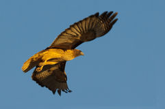 Red Tail Hawk. A red Tail Hawk starting to soar at sunset, motion blur on wings Royalty Free Stock Images