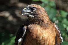 Red Tail Hawk Stock Photos