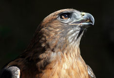 Red Tail Hawk. Hawk Posing With Close Up Detail Stock Photography
