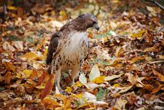 Red Tail Hawk. A beautiful Red Tail Hawk standing within the fall leaves in a New England forest Stock Photos