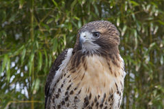 Red tail hawk. Preched in front of bamboo background Royalty Free Stock Photo