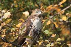 Red tail hawk. A red tail hawk waits patiently for prey Royalty Free Stock Image