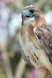 Red tail hawk. Close-up of red tail hawk Stock Images