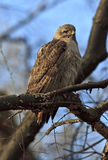 Red tail hawk. Pale male red tail hawk in Central Park after a bath Stock Photos