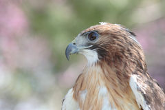 Red tail hawk. Close-up of red tail hawk profile Stock Photography