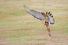 Red Tail Hawk Approach Royalty Free Stock Photography