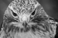 Red Tail Hawk in Black and white. Red Tail Hawk looking right at you. A black and white photograph Stock Images