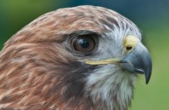 Red-Tail Hawk (Buteo jamaicensis) Head Closeup. Captive bird Stock Photos