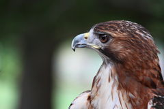 Red Tail Hawk Close-Up. A close-up photo of the head of a red tailed hawk perched outdoors in a city zoo Royalty Free Stock Photos