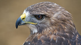 Red tail hawk. Close up portrait of a red tailed hawk Stock Photography