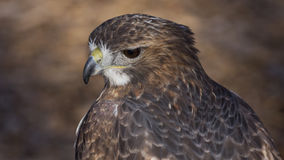 Red tail hawk. Closeup portrait of a red tail hawk Stock Image
