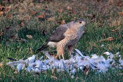 Red tail Hawk. Dinner time just ate a dove in the back yard ummm ummm good Stock Photo