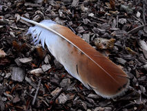 Red Tail Hawk Feather Stock Photos