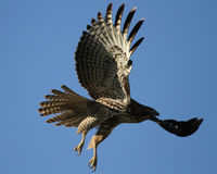 Red Tail Hawk in Flight Royalty Free Stock Photo
