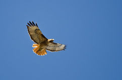 Red-Tail Hawk Flying in a Blue Sky. Adult Red-Tail Hawk Flying in a Blue Sky Stock Photo
