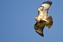 Red-Tail Hawk Flying in a Blue Sky. Red-Tail Hawk Flying in a Clear Blue Sky Royalty Free Stock Photo