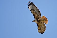 Red-Tail Hawk Flying in a Blue Sky Royalty Free Stock Photography