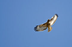 Red-Tail Hawk Flying in a Blue Sky. Red-Tail Hawk Flying in a Clear Blue Sky Royalty Free Stock Photos