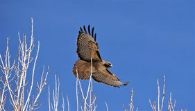 A red tail hawk flying just over the tree branches. A large Red Tail hawk flying very low against the bright blue sky and just over the tree branches Royalty Free Stock Photos