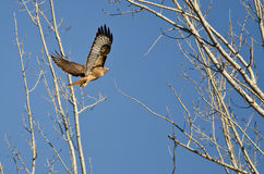 Red-Tail Hawk Flying Up To Its Nest. In Early Spring Stock Image