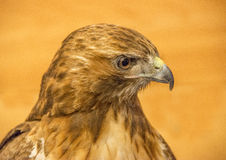 Red-tail Hawk Royalty Free Stock Photography