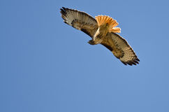 Red-Tail Hawk Hunting on the Wing. In a Blue Sky Stock Photos