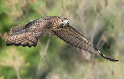 Red Tail Hawk Royalty Free Stock Photos