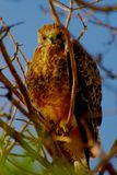 Red Tail Hawk Keeping Warm. Red Tail Hawk fluffing feathers to keep warm Royalty Free Stock Photos