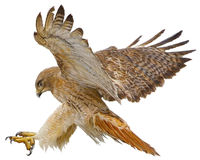 Free Red Tail Hawk Landing Attack Draw On White Vector. Stock Photos - 81488913