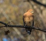 Red tail hawk. Hawk looking for a meal to eat on the ground from above Royalty Free Stock Image
