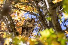 Red tail hawk looking for a prey, Dawson creek park, Hillsboro royalty free stock photos