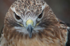 Red Tail Hawk looking straight ahead. Red Tail Hawk looking right at you Royalty Free Stock Photography