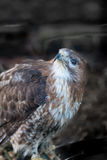 Red tail hawk Stock Images