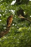 Red Tail Hawk. Majestic Red Tail Hawk sitting high in a tree patiently waiting in search of his next meal royalty free stock photos