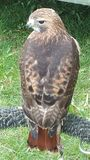Red tail hawk. Perched Stock Images