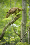 Red tail hawk perched in a dead tree, Manchester, Connecticut. Red tail hawk in a tree at Case Mountain reserve in Manchester, Connecticut. Scientific name is Stock Photos
