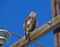 Red Tail Hawk. Perched on power pole Stock Images