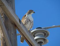 Red Tail Hawk. Perched on power pole Stock Image