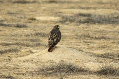 Red Tail Hawk Perched On A Prairie Dog Mound, Waitng for Lunch royalty free stock image