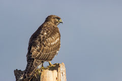 Red Tail Hawk Stock Photo