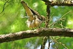 Red tail hawk Royalty Free Stock Image