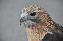 Red Tail Hawk in portrait. Red Tail Hawk close up Royalty Free Stock Photography