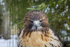 Red tail hawk. Preched in front of bamboo background Stock Photography
