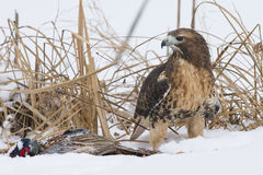 Red tail hawk with prey. In snow Stock Images